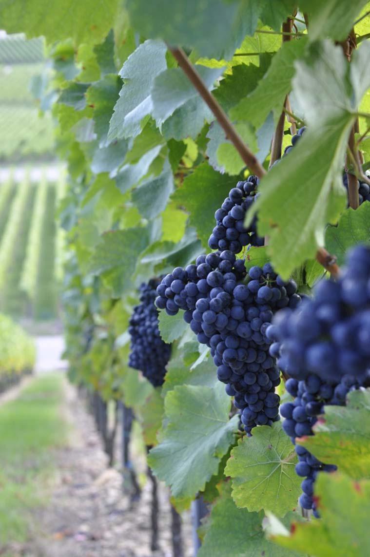 Wein aus dem Heilbronner Land © Touristikgemeinschaft HeilbronnerLand